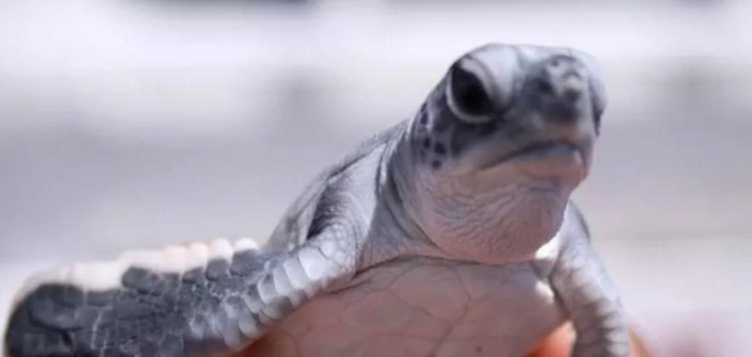 comite-estatal-para-la-proteccion-investigacion-conservacion-y-manejo-de-tortugas-marinas-de-quintana-roo-fundacion-tulum